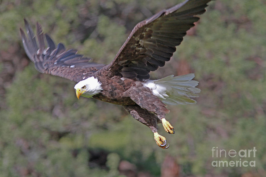 Bald Eagle Photograph - Bald Eagle by Gary Wing