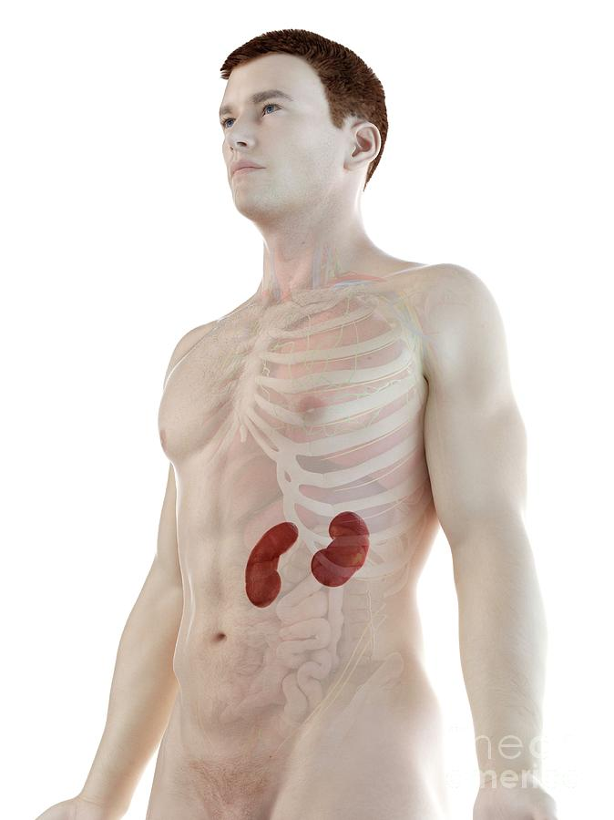 3d Photograph - Kidney Anatomy 14 by Sebastian Kaulitzki/science Photo Library