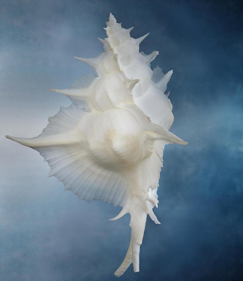 Still Life Of A Shell Photograph by Joyce Tenneson