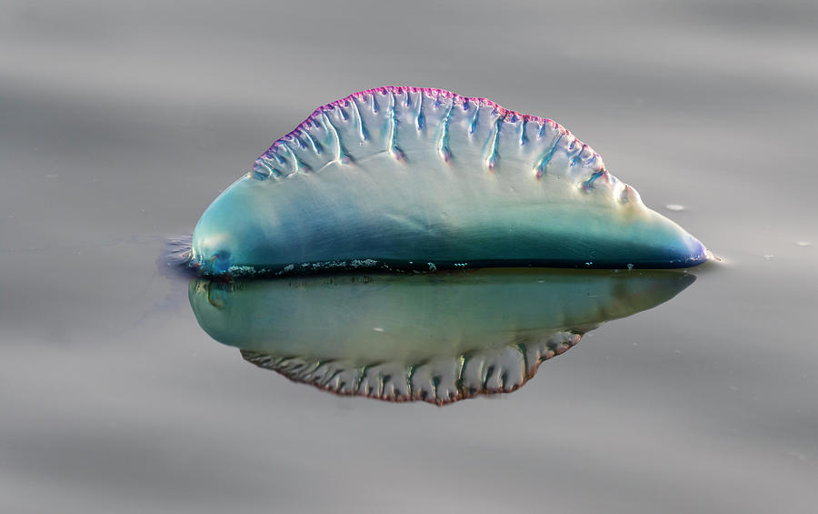 Atlantic Portuguese Man O War by Ivan Kuzmin