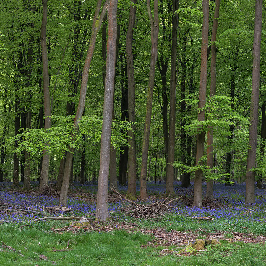 Landscape Photograph - Stunning Bluebell Forest Landscape Image In Soft Sunlight In Spr by Matthew Gibson