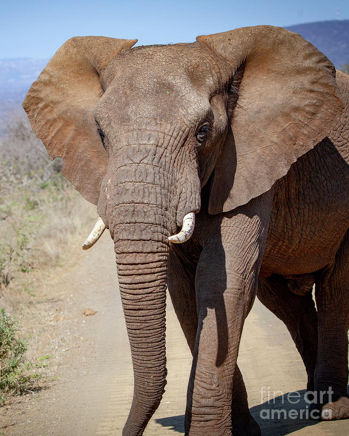 1549 African Elephant by Steve Sturgill