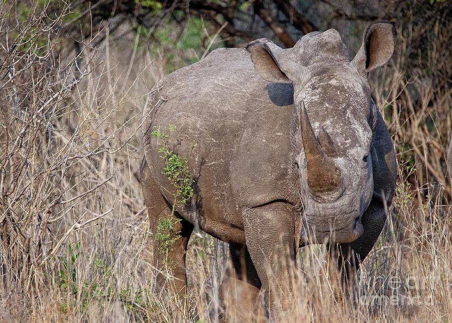 1550 White Rhino by Steve Sturgill