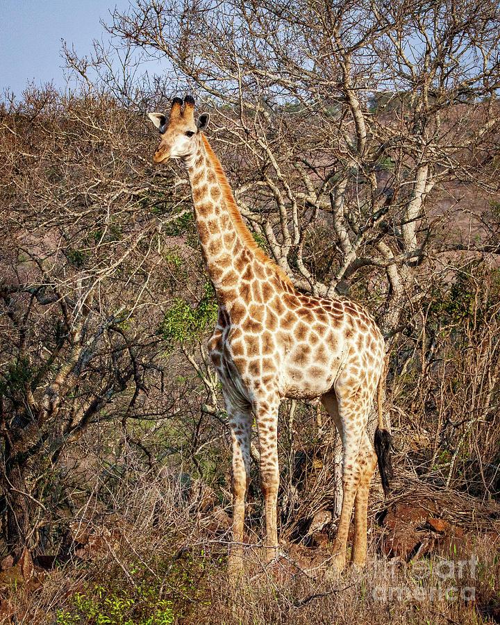1551 Giraffe by Steve Sturgill