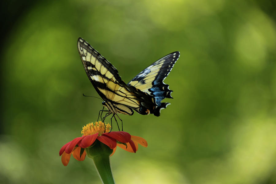 Butterfly Photograph - Eastern Tiger Swallowtail by Lucy Banks