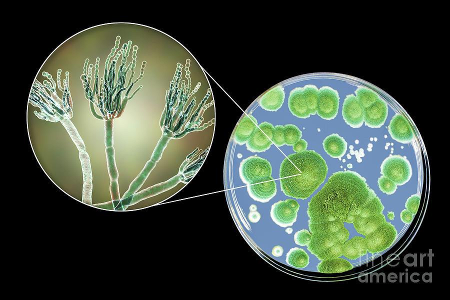 3 Dimensional Photograph - Penicillium Fungus by Kateryna Kon/science Photo Library