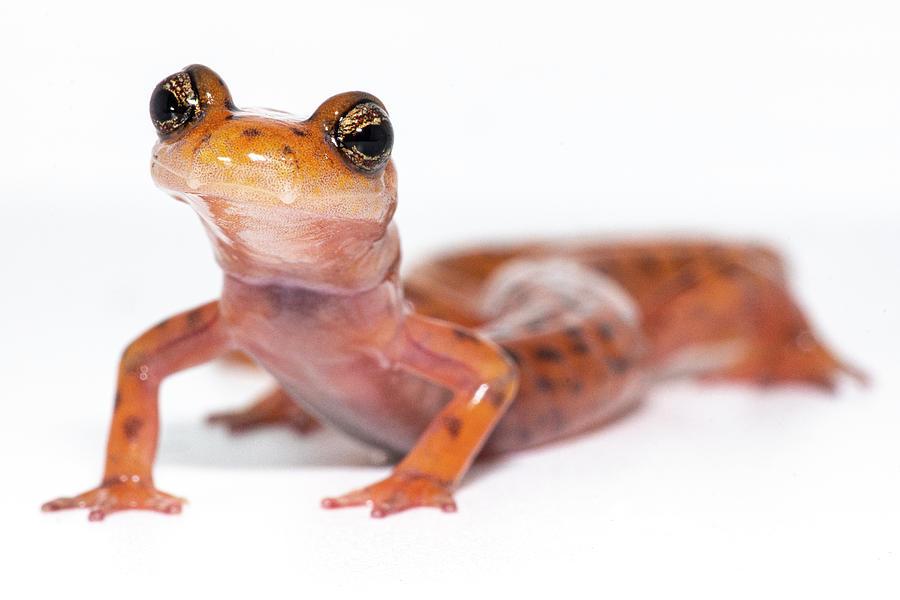 Cave Salamander, Eurycea Lucifuga by DANTE FENOLIO