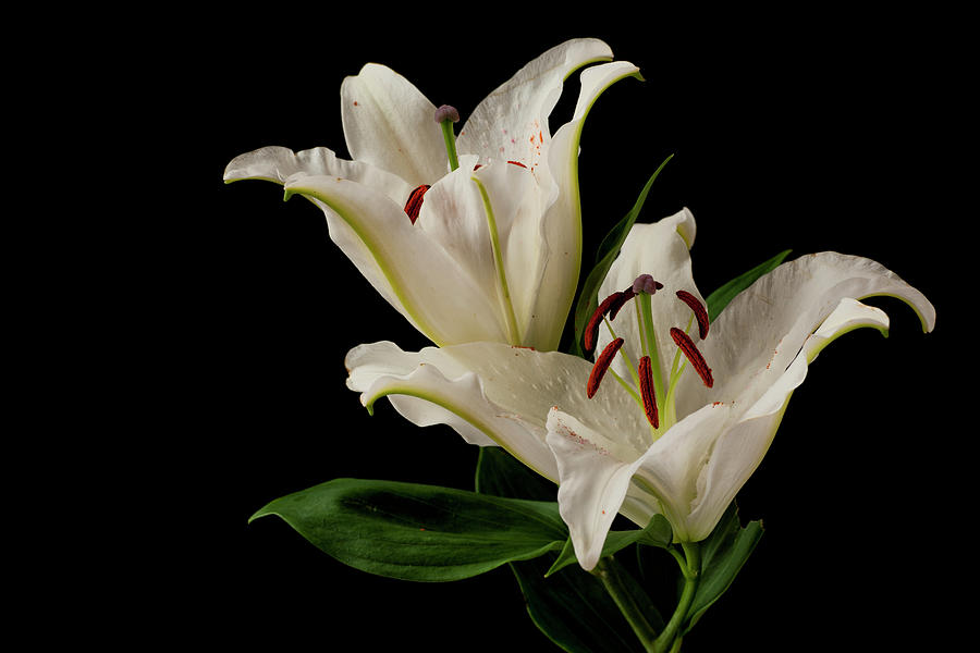 Flower Photograph - White Lily On Black. by Paul Cullen