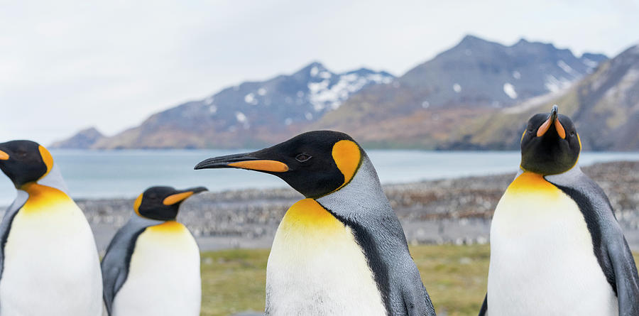 Atlantic Photograph - King Penguin Rookery In St by Martin Zwick