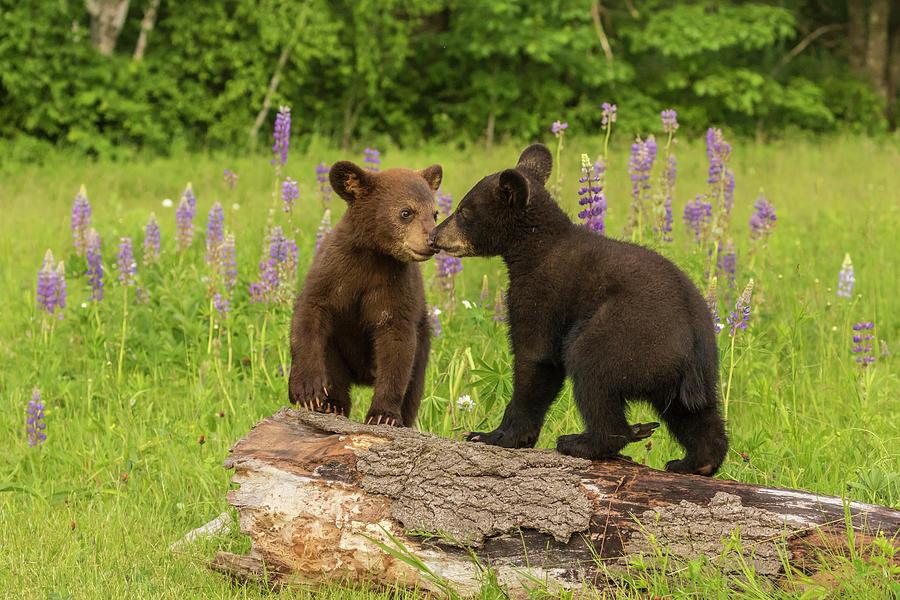 Animal Photograph - Usa, Minnesota, Minnesota Wildlife by Jaynes Gallery