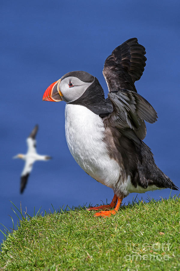Puffin in Scotland by Arterra Picture Library