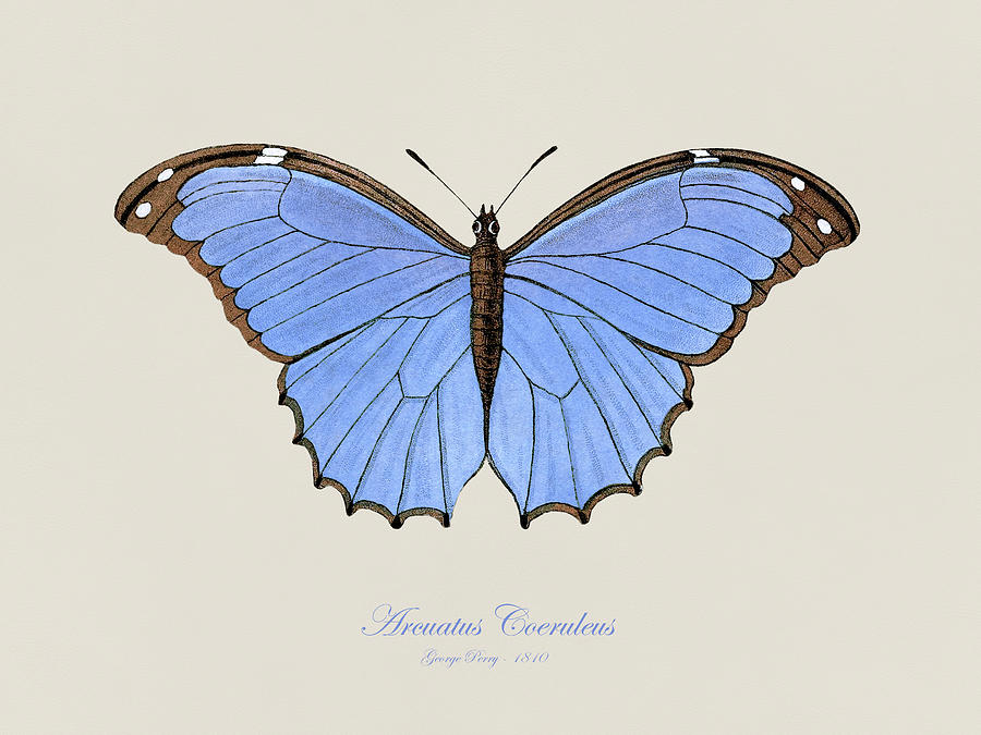 Menelaus Blue Morpho Painting - 19th Century Butterfly and Moth Natural History Illustration by StockPhotosArt Com