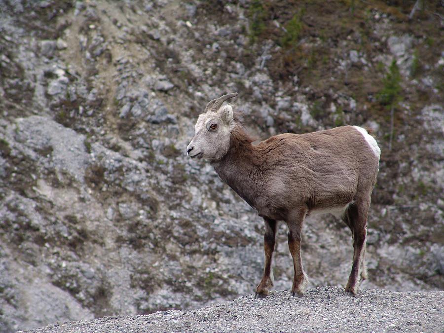 Alaska Highway Stone Sheep Photograph