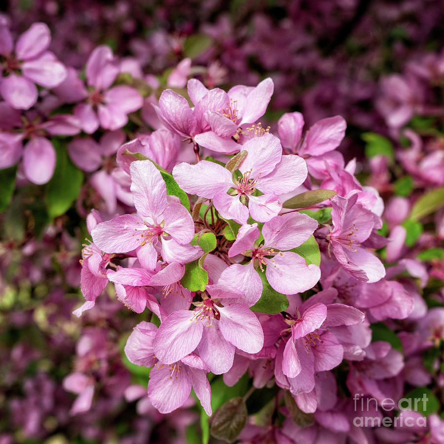 Apple Blossoms by Roxie Crouch