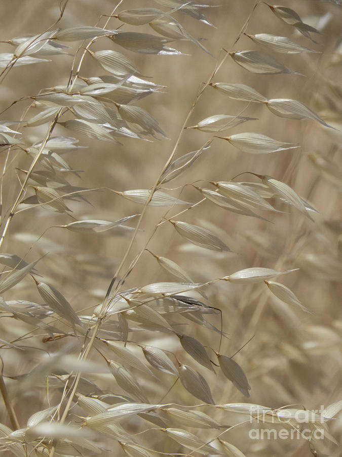 Arizona Oat Grass by Christy Garavetto