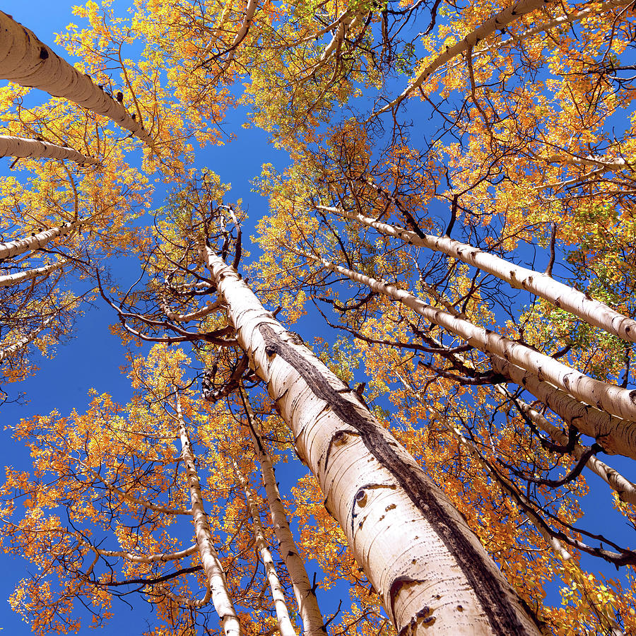 Aspen Trees Against The Sky In Crested Butte, Colorado  by OLena Art - Lena Owens