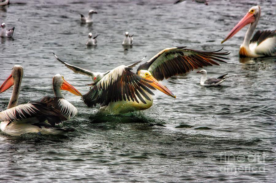 Australian Pelican by Blair Stuart