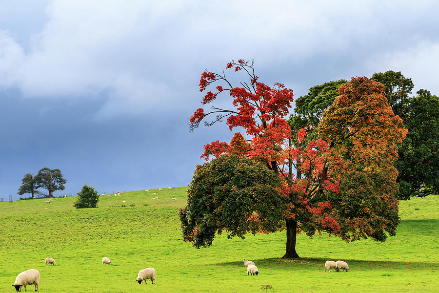 Autumn sheep by Chris Smith