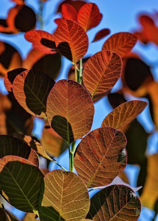 Back Lit Leaves by Robert Ullmann