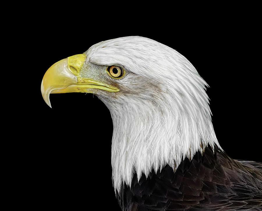 Bald Eagle 2 Photograph by Dansphotoart On Flickr