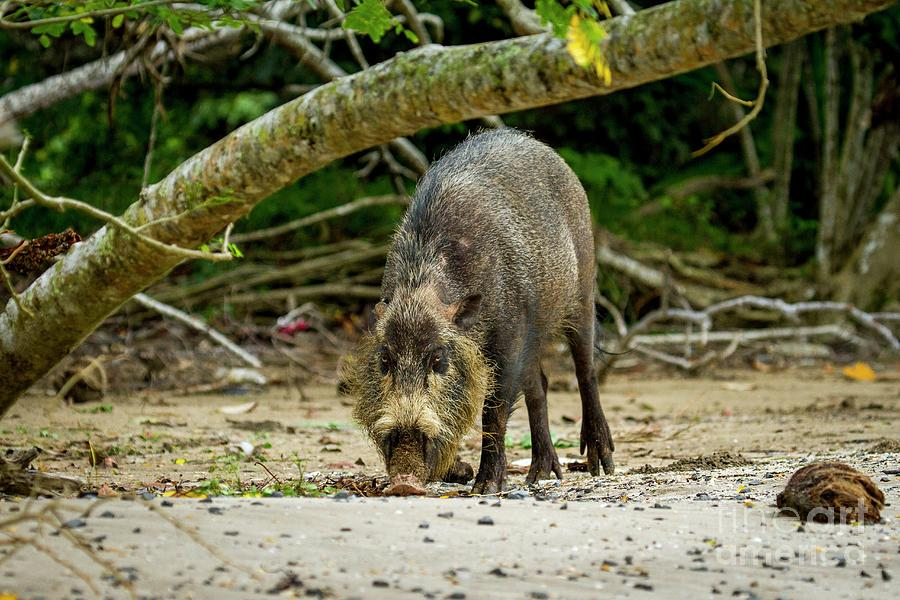 Borneo Photograph - Bearded Pig Foraging by Paul Williams/science Photo Library