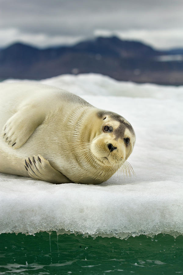 Bearded Seal, Svalbard, Norway Photograph by Paul Souders