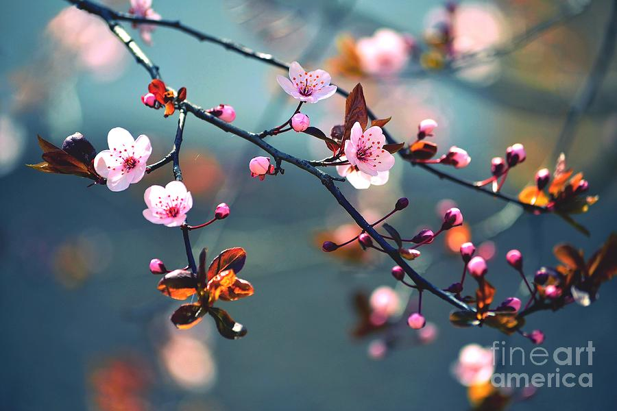 Japan Photograph - Beautiful Flowering Japanese Cherry - by Montypeter