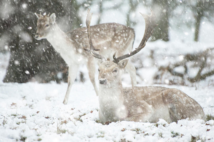 Animal Photograph - Beautiful Image Of Fallow Deer In Snow Winter Landscape In Heavy by Matthew Gibson