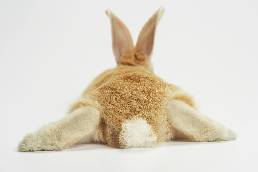 Beige Bunny Rabbit On White Background Photograph by American Images Inc