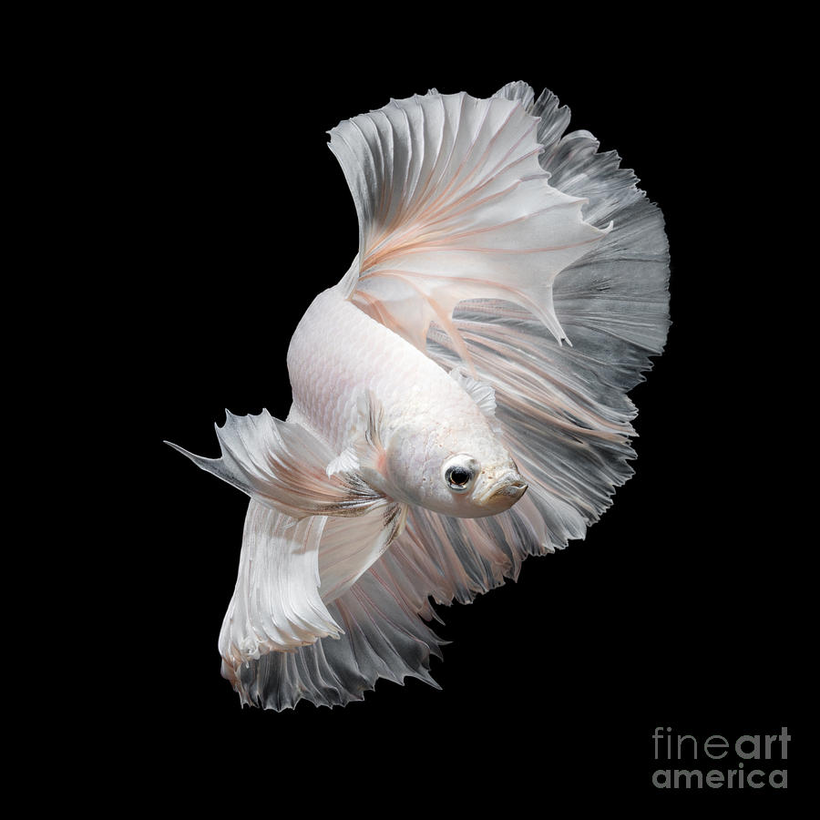 Fancy Photograph - Betta Fish,siamese Fighting Fish In by Nuamfolio