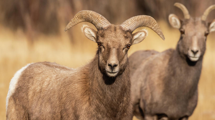 Big Horn Sheep by Brenda Jacobs