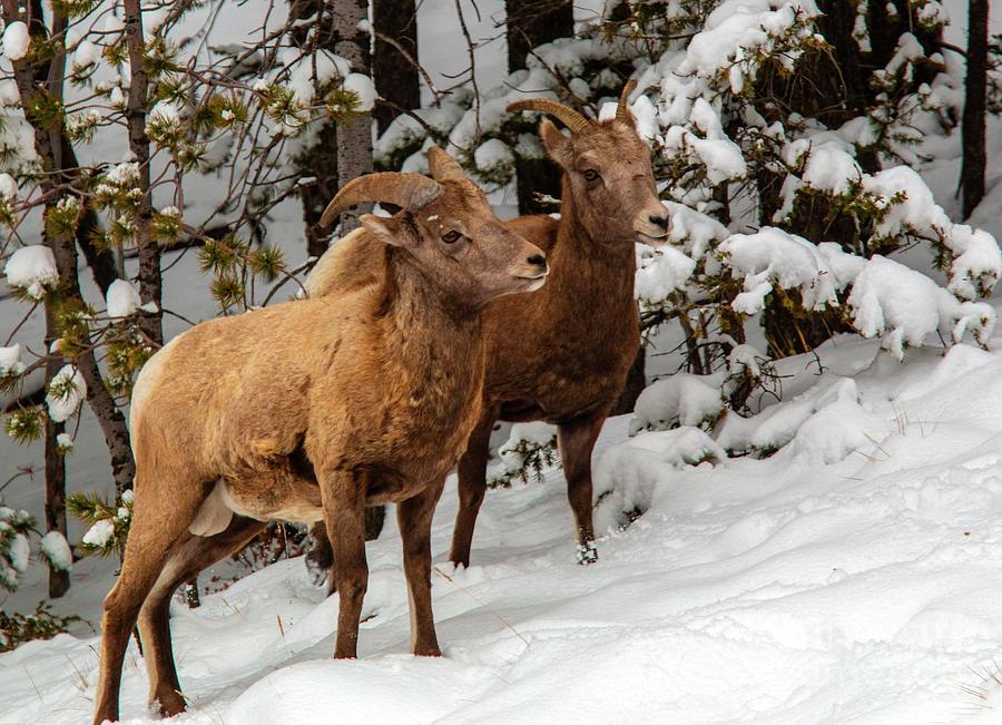 Bighorn Sheep In Deep Snow Photograph
