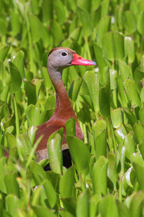 Black-bellied Whistling Duck by Ivan Kuzmin