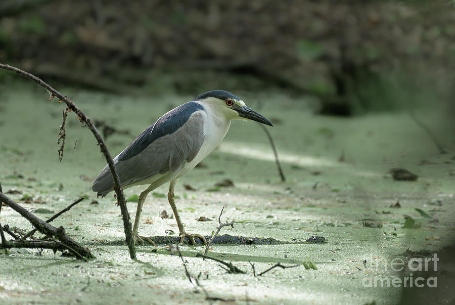 Black crowned night heron by Sam Rino