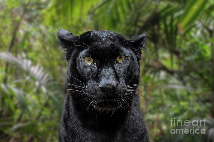 Black Panther by Arterra Picture Library
