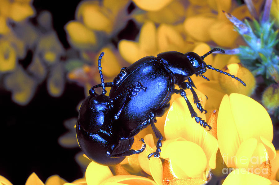 Gorse Photograph - Bloody-nosed Beetles Mating 2 by Dr Keith Wheeler/science Photo Library