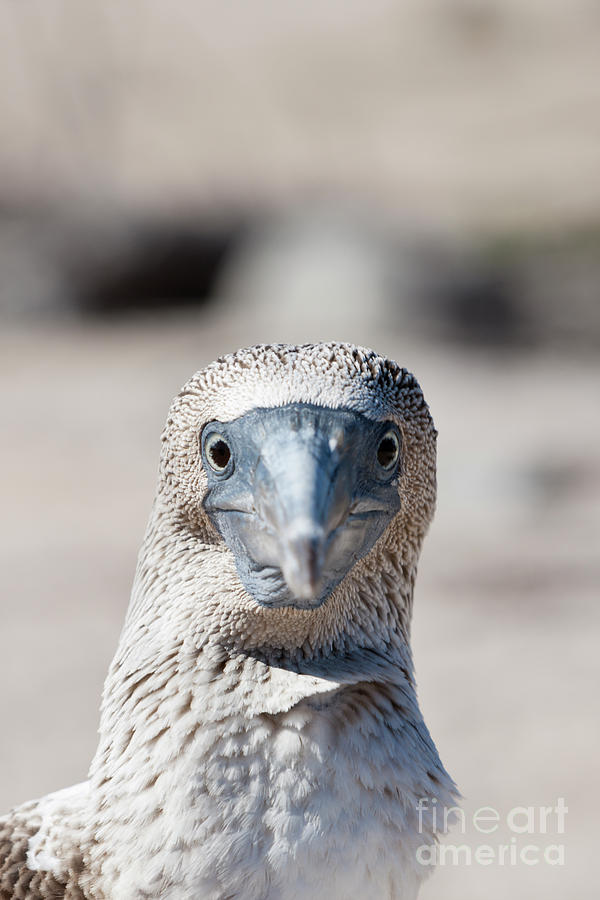 Blue-footed Booby Photograph - Blue-footed Booby by Reinhard Dirscherl/science Photo Library