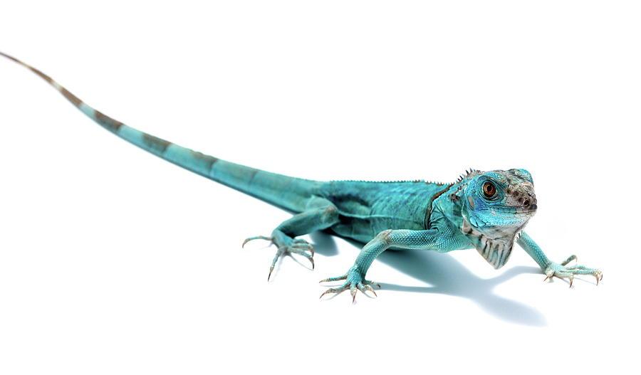 Blue Iguana Lizard by Nathan Abbott