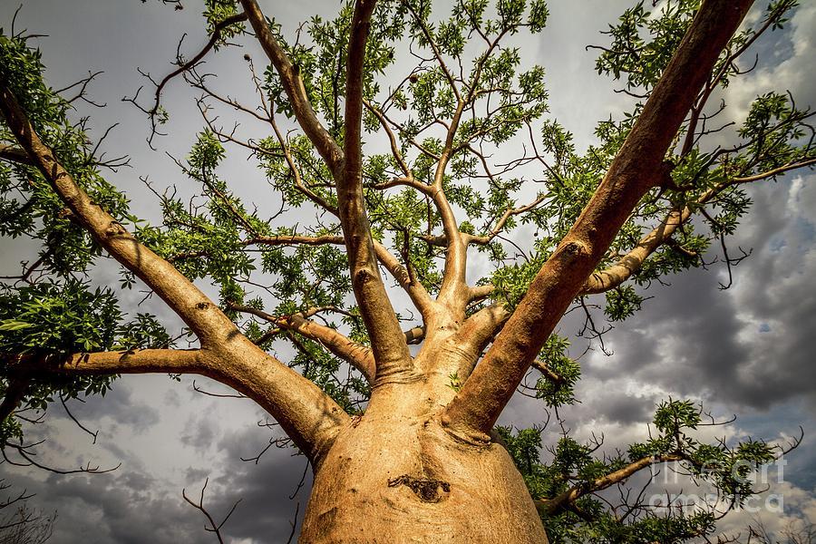 Western Australia Photograph - Boab Tree (adansonia Gregorii) by Paul Williams/science Photo Library
