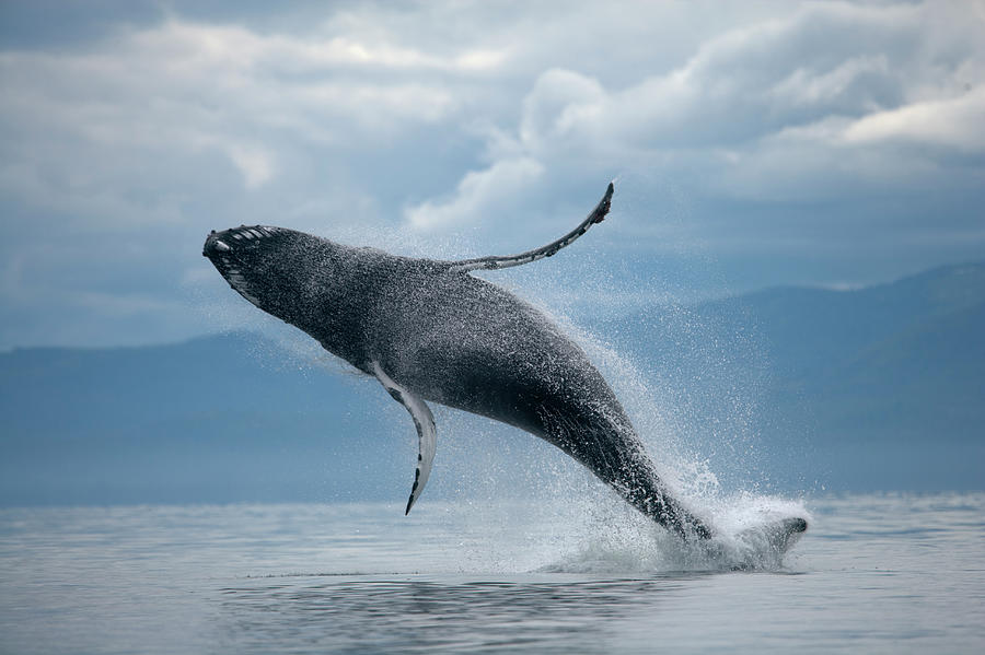 Majestic Photograph - Breaching Humpback Whale, Alaska by Paul Souders