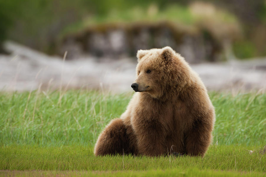 Brown Bear, Katmai National Park Photograph by Mint Images/ Art Wolfe