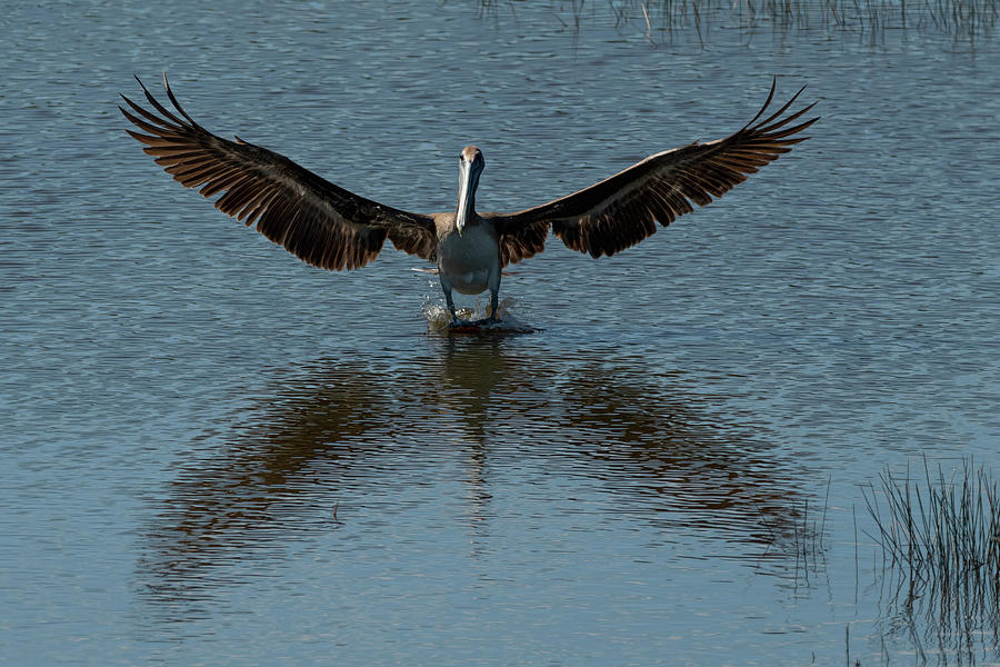 Brown Pelican Landing And Taking Off Looking For Fish Photograph
