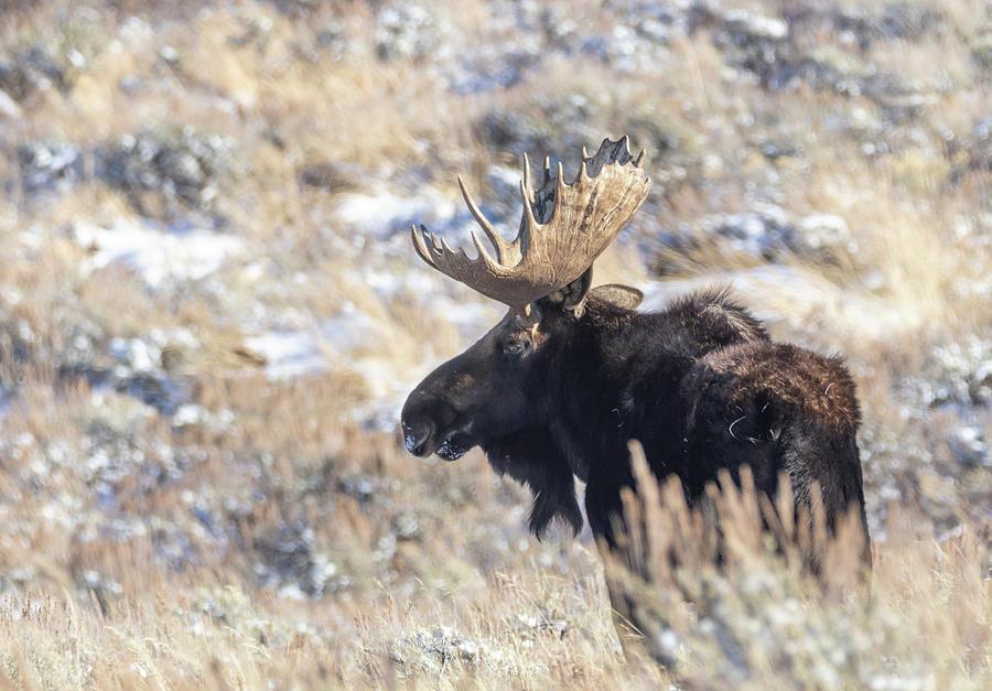 Bull Moose by Michael Chatt