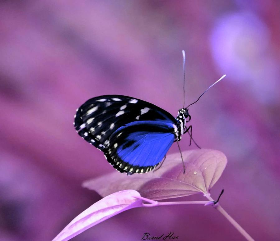 Butterfly by Bernd Hau