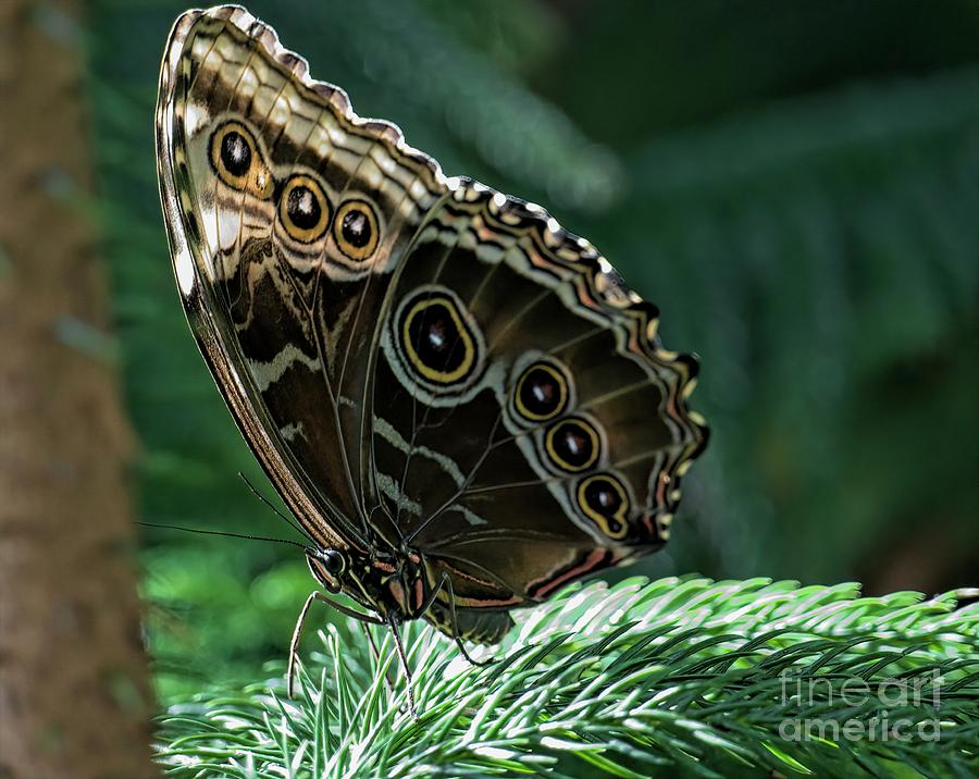 Americana Digital Art - Butterfly by Elijah Knight