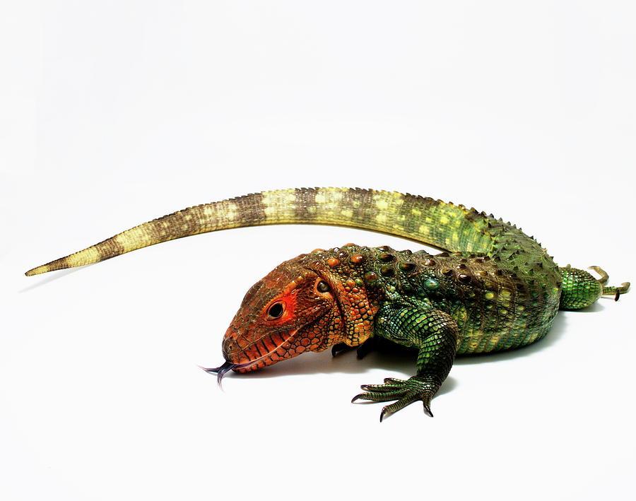 Caiman Lizard Dracaena guianensis by Nathan Abbott
