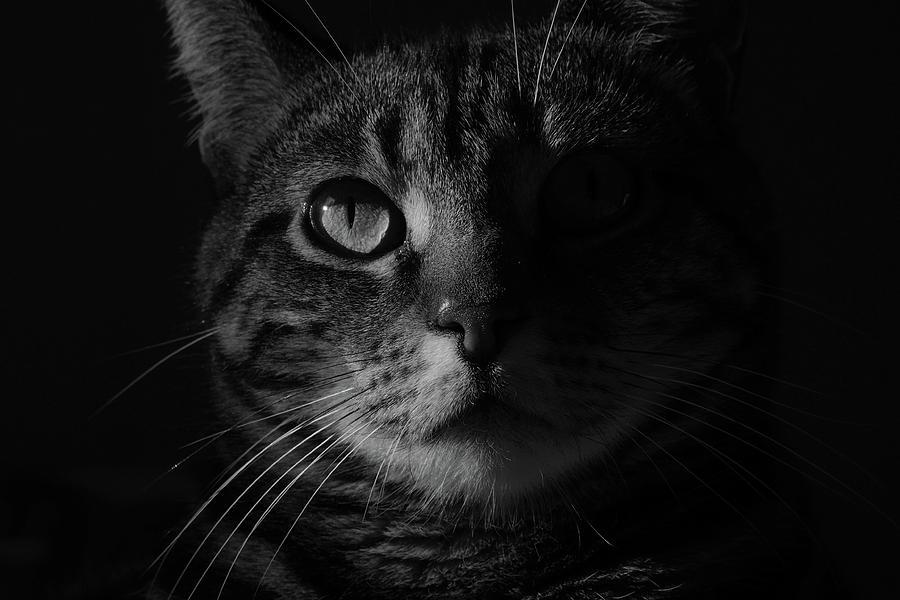 Cat Photograph - Caline 2 by Christine AVIGNON