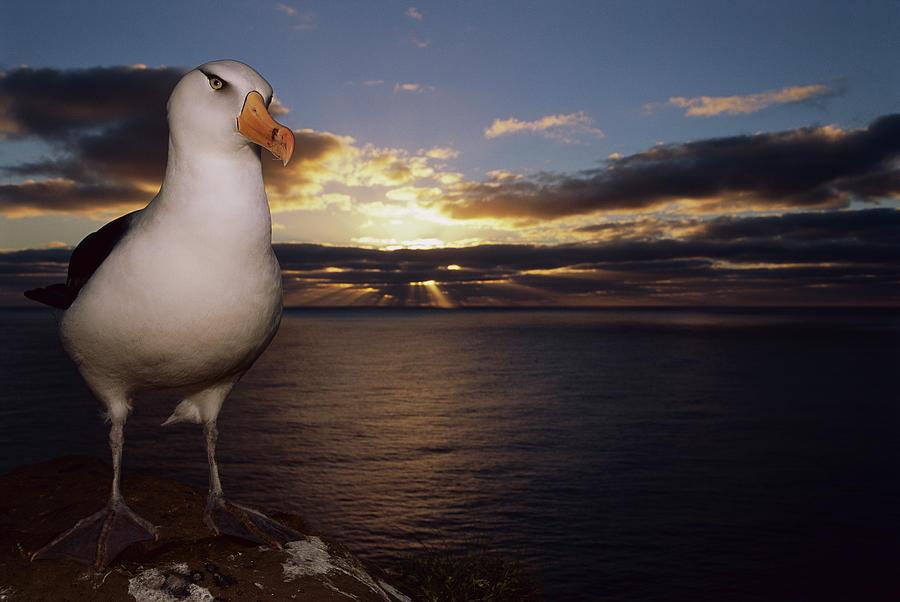 Campbell Albatross Thalassarche Photograph by Tui De Roy/ Minden Pictures