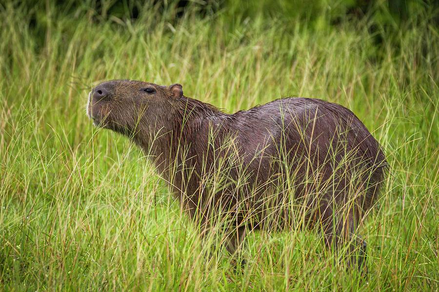 Capybara Chiguiro Hato Barley Tauramena Casanare Colombia by Adam Rainoff