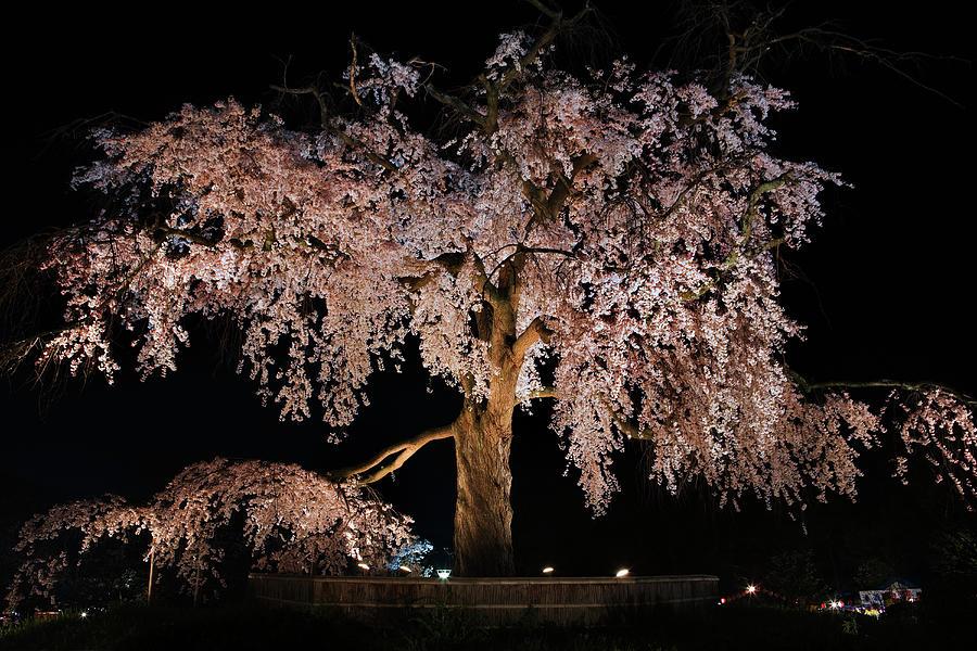 Cherry Blossom Tree At Twilight Photograph by John W Banagan